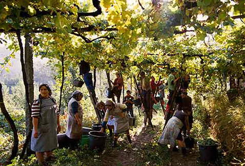 Регионы виноделия Португалии - Harvesting grapes for Vinho Verde, near Amarante, Minho, Portugal
