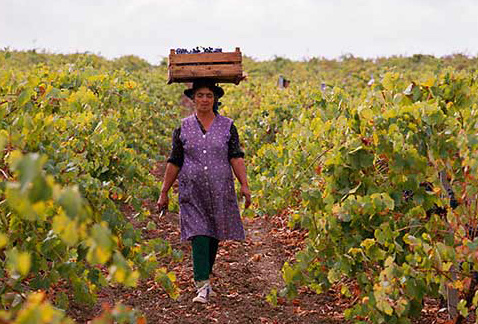 Регион виноделия Алентежу - Woman carrying box of harvested grapes on her head in vineyard near Ferreira, Baixo-Alentejo, Portugal