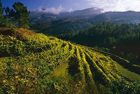 Регион виноделия Винью Верде - Vineyard near Amarante, Minho, Portugal. [Vinho Verde]