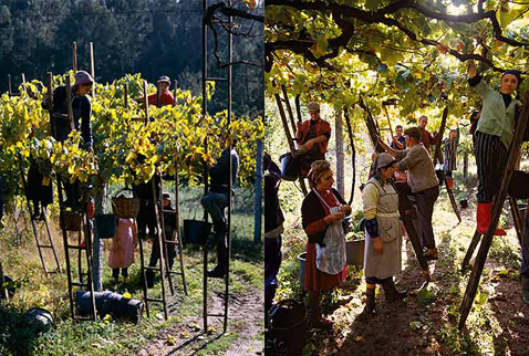 Регион виноделия Винью Верде - Harvesting grapes in a pergola trained vineyard near Amarante, Minho, Portugal. [Vinho Verde]