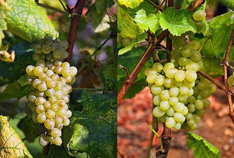 Регионы виноделия Мадейра - Серсиал (Sercial), Верделью (Verdelho)