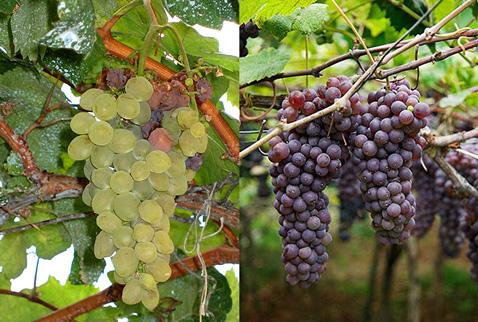 Регионы виноделия Мадейра - Боал (Boal), Тинта Негра Моле (Tinta Negra Mole)