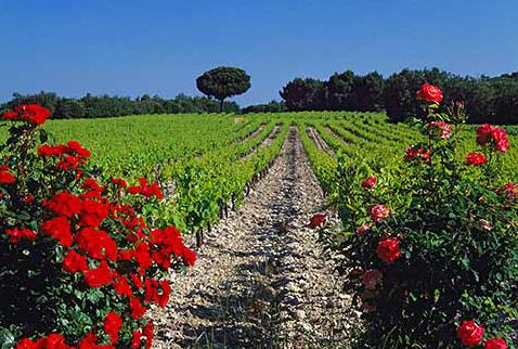Во Франции существует традиция - сажать розовый куст у виноградников | Rose bushes at end of vineyard rows, Rochegude, Drôme, France. [Côtes du Rhône-Villages]